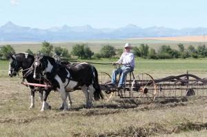 horse-drawn raking