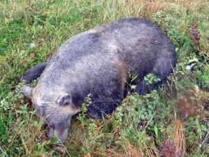 pinchercreek grizzly