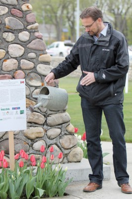 Deputy Mayor Brent Feyter waters some of the tulips planted last fall in the Fort Macleod Town Square.