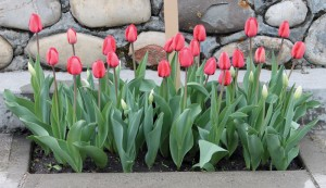 Volunteers last fall planted tulip bulbs in a 70th anniversary Dutch-Canadian friendship tulip garden.