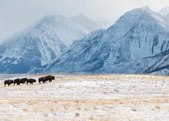 Plains bison herd returns to Waterton