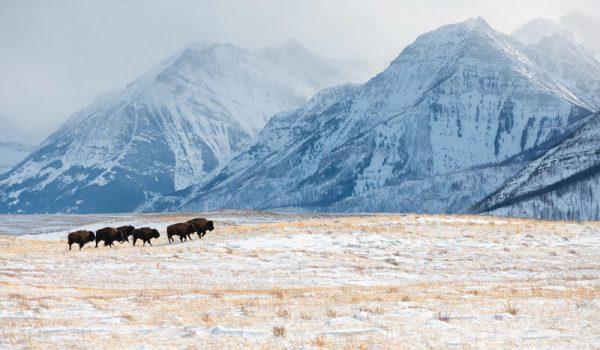 waterton bison